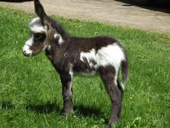KZ Asspiration Acres | Miniature Donkeys Available For Sale